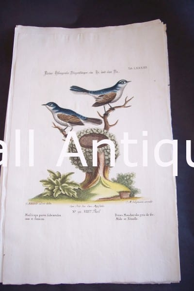 Seligmann George Edwards Bird 0636
