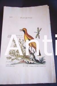 Seligmann George Edwards Bird 0638