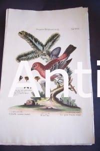 Seligmann George Edwards Bird 0639