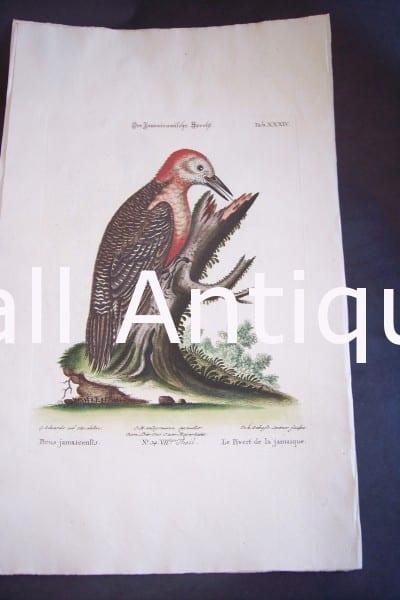 Seligmann George Edwards Bird 0642