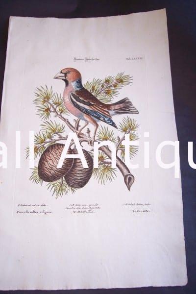 Seligmann George Edwards Bird 0643