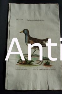 George Edwards water bird engraving from 1771-1776.