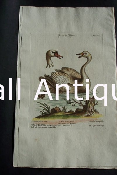 George Edwards water bird engraving from 1771-1776. Swan 0659 450.