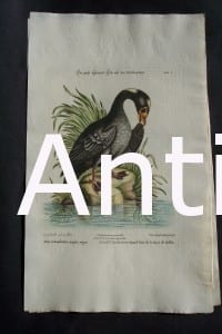 George Edwards water bird engraving from 1771-1776