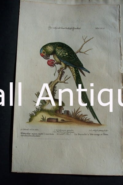 0670 Parrots George Edwards Birds Anne Hall Antique Prints