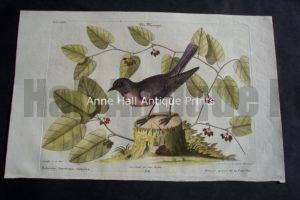 Robin by Mark Catesby. North American of birds & foliage.