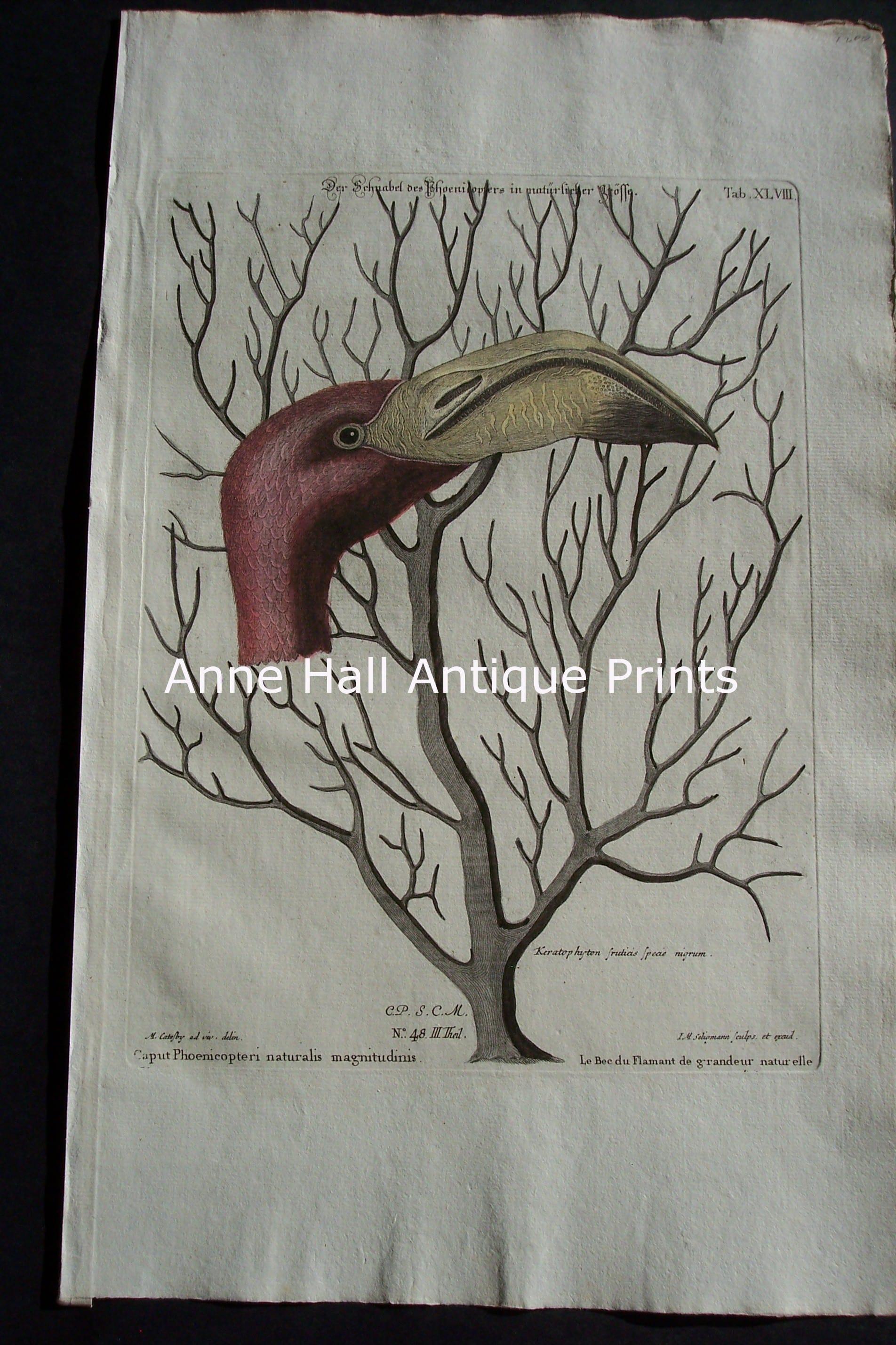Mark Catesby Flamingo 48