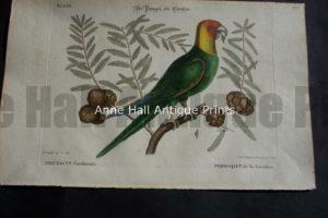 Carolina Parakeet by Mark Catesby. North American of birds & foliage.