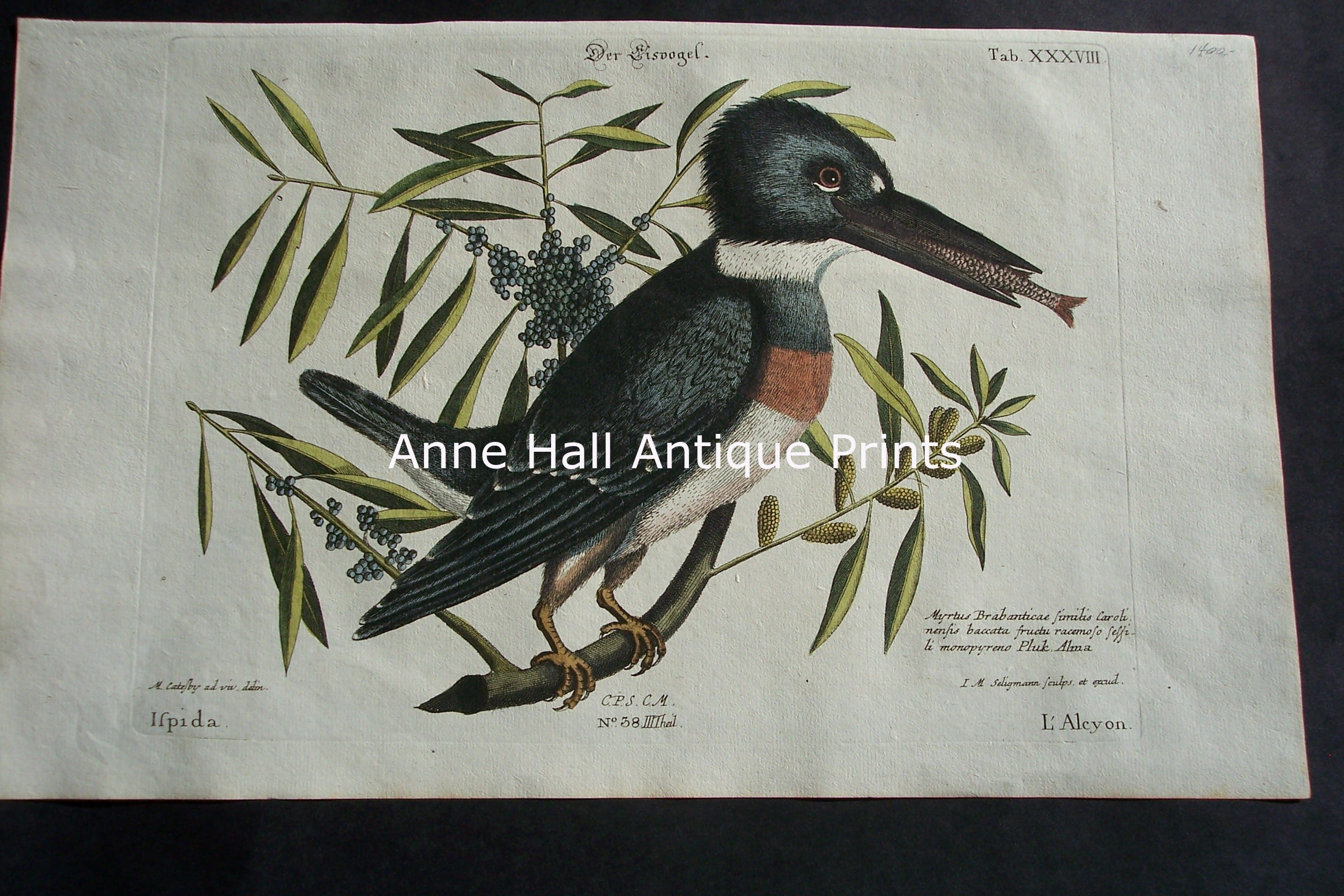Mark Catesby Belted Kingfisher 38