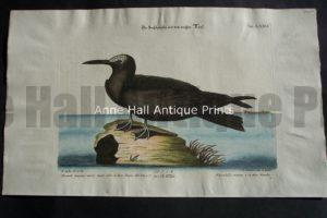 Mark Catesby. Hand colored engraving.  Water Bird 76.