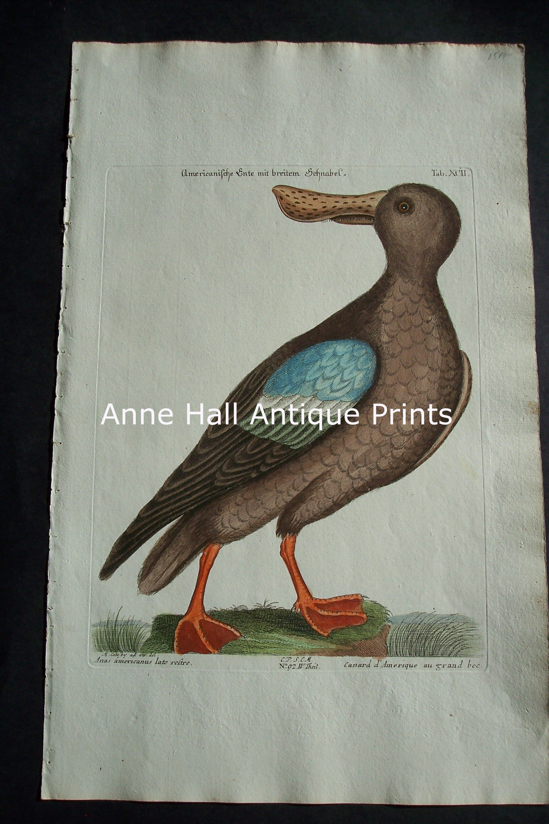 Mark Catesby Duck Plate 92