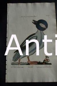 Mark Catesby Anas Minor Purpuree Capite 90