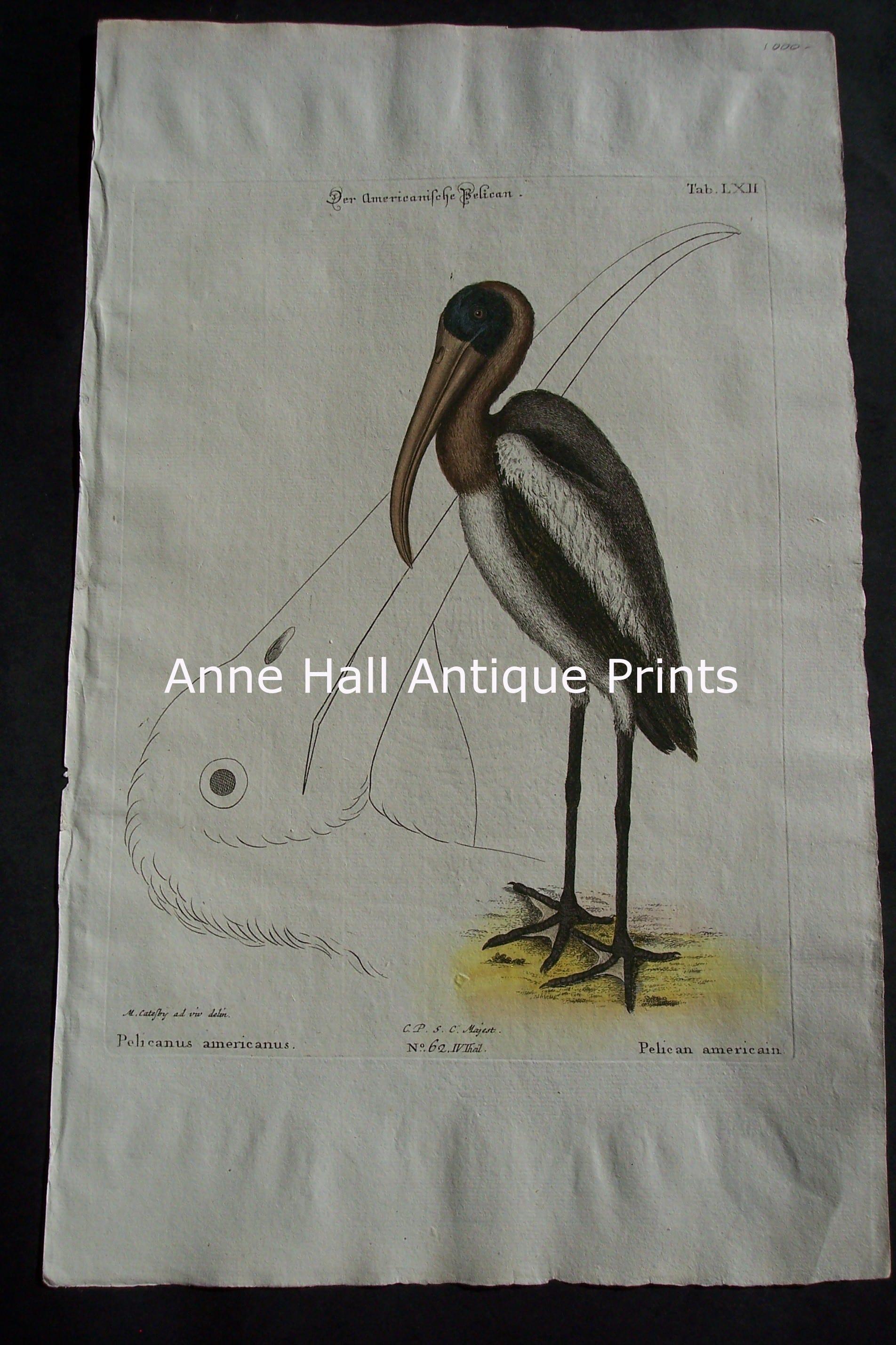 Mark Catesby Pelican 62