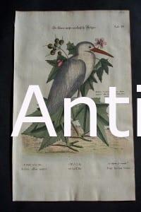 Birds by Mark Catesby. North American of birds & foliage.