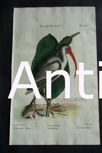 Mark Catesby White Ibis