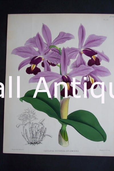 Cattleya Superba Splendens. Circa 1885. Warner Orchid Album. English hand colored lithograph of orchids.