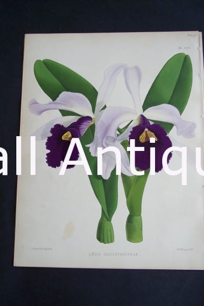 Laelia Callistoglossa. Circa 1885. Warner Orchid Album. English hand colored lithograph of orchids.