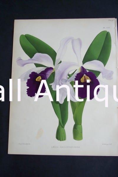 Laelia Callistoglossa. Circa 1885. Warner Orchid Album. English hand colored lithograph of orchids.