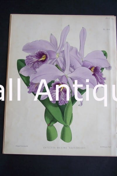Cattleya Maxima Backhousei. Circa 1885. Warner Orchid Album. English hand colored lithograph of orchids.