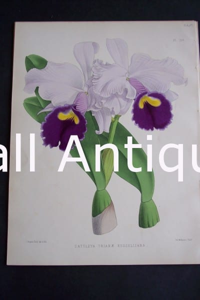 Cattleya Trianae Russelliana. Circa 1885. Warner Orchid Album. English hand colored lithograph of orchids.