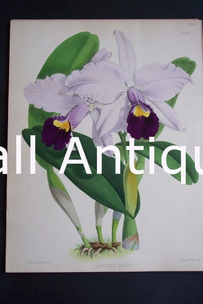 Cattleya Trianae. Circa 1885. Warner Orchid Album. English hand colored lithograph of orchids.