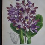 Orchids by Warner water colored lithograph 1885.
