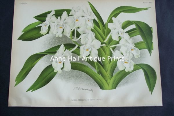 Lindenia Orchid Lithograph