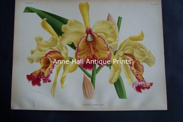 Lindenia Cattleya Aurea Orchid Lithograph 706