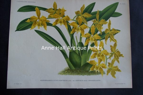 Illustration Orchid Lithograph