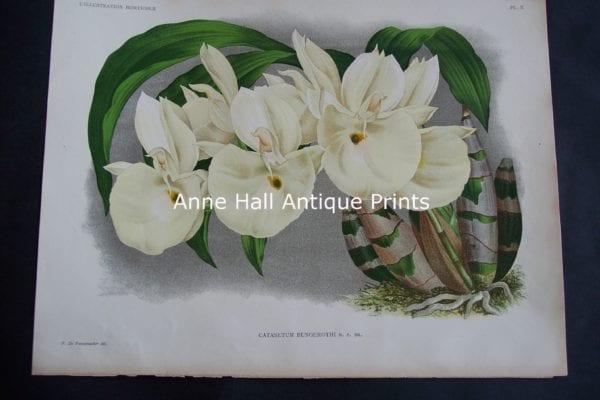 Illustration Horticole Cataseum Orchid Lithograph 709