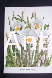 Orchid Print by Louis Van Houtteano