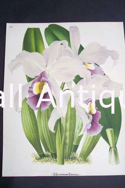 Orchid Print from Belgium