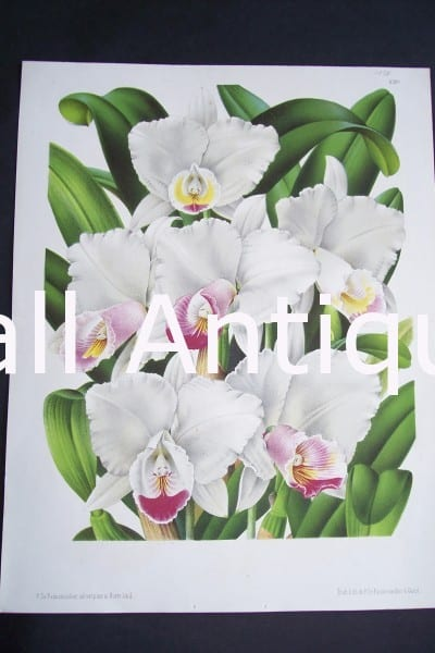 Old Belgian Orchid Print