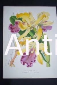 Van Houtteano Orchid Print from Belgium