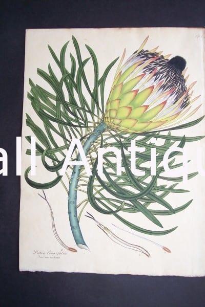 Protea Congifolia print by Andrews Protea $150.