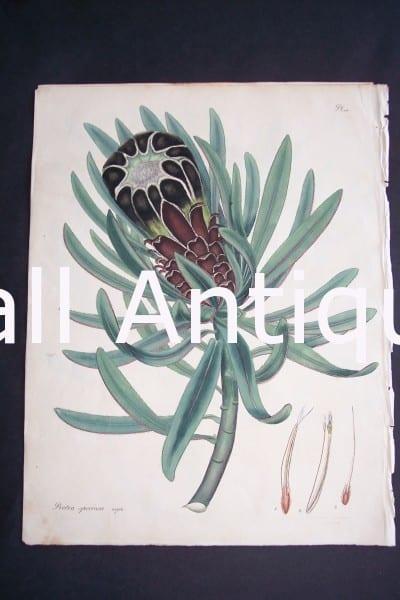 Protea Speciosa print by Andrews Protea $150.