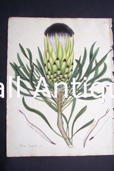 Protea Longifolia print by Andrews Protea. $150.
