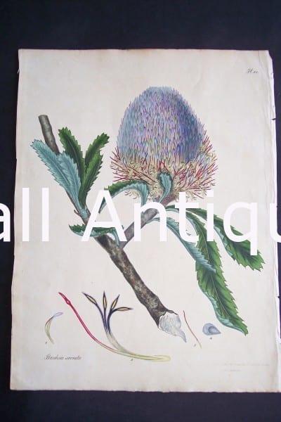 Banksia Serrata Pl. 82 Andrews Antique botanical print of Protea $150.