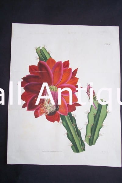 Red Cacti $125