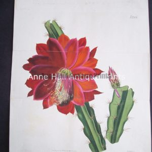 Antique engraving of red cactus in bloom. Highly detailed water coloring..