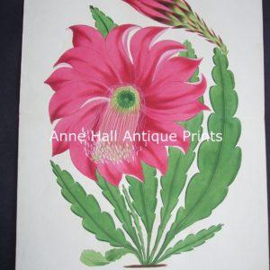 Epiphyllum Splendidum $125