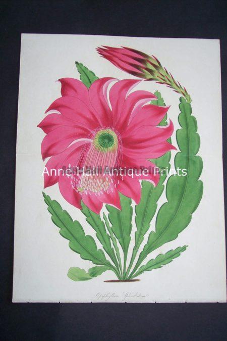 Antique watercolor engraving of Christmas Cactus in bloom.Epiphyllum Splendidum $125