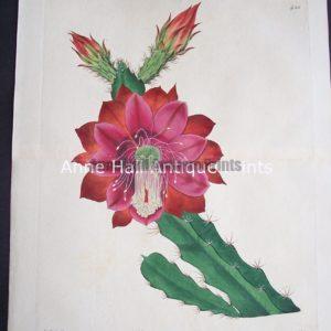 Cactus Speciosissimus $125