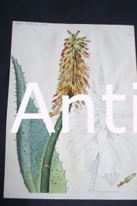 Great Hedgehog Aloe $125