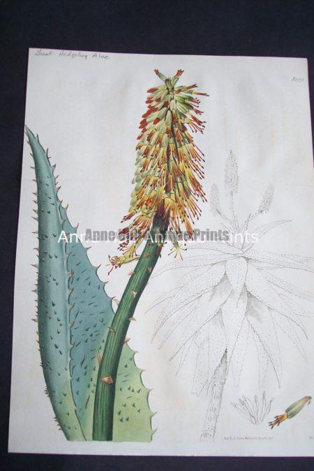 Aloe Plants illustrated through the lost art of engraving botanical illustration.