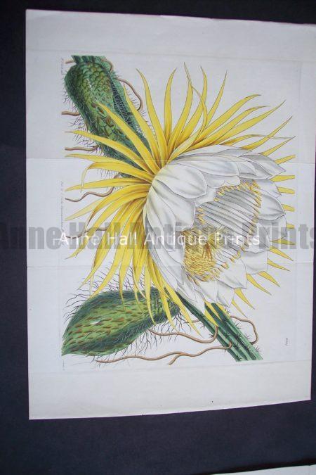 Yellow Cacti $125