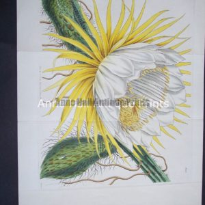 Great hand colored engraving of large cactus bloom from the 1800's.Yellow Cacti $125