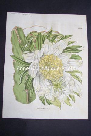 Cactus Triangularis $125