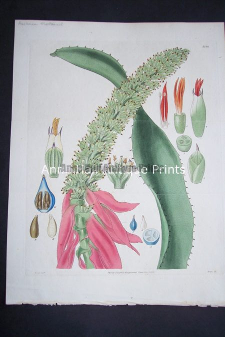 Sub tropical species of cacti succulents at Anne Hall Antique Prints.