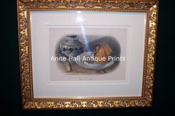 Audubon Common Mouse Framed 0846